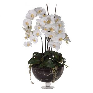 WHITE ORCHID PHAL.PLANTS