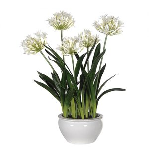 WH.AGAPANTHUS IN WH.BOWL